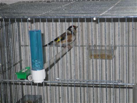 riproduzione cardellini di cattura in gabbia cardellini bartolotta settembre 2009