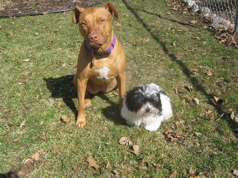 shih tzu cross pitbull shih tzu and pitbull mix breeds picture