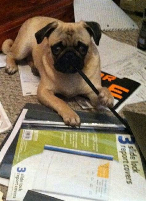 pug help office pug may i help you pugs and more pugs