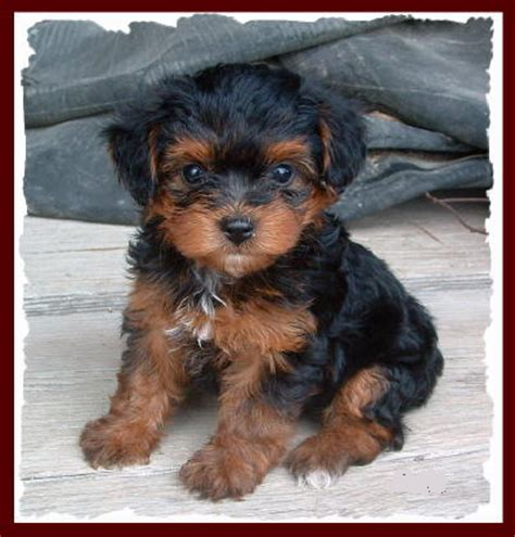 yorkie puppies for sale indianapolis yorkiepoo puppy