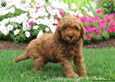 snickerdoodle puppies goldendoodle miniature meet snickerdoodle a puppy for adoption