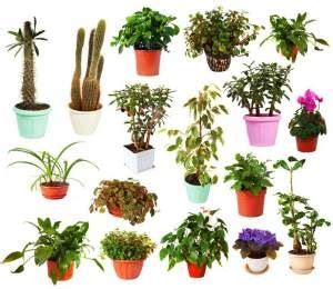 Kaffir Lily A Z List Of House Plants Common And Scientific Names