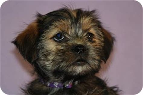 shih tzu yorkie mix price chacha adopted puppy jan05 04 broomfield co