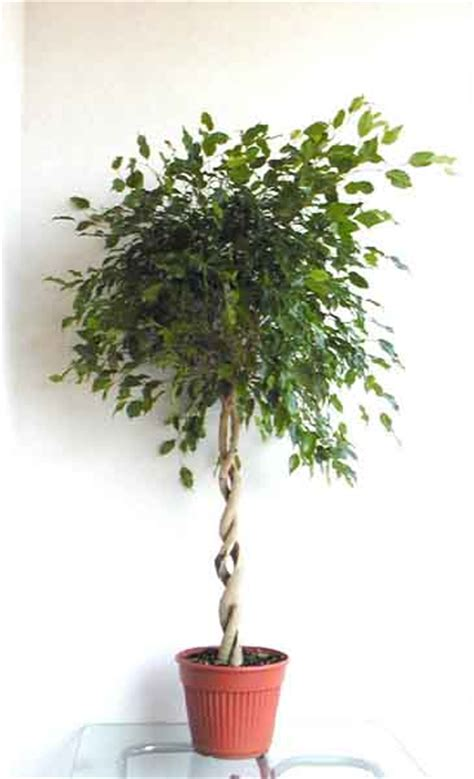 ficus interior el ficus plantas de interior