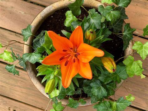 Lilien Im Topf Kaufen 2417 by Lilien Alles Zum Kaufen Pflanzen Pflegen Plantura