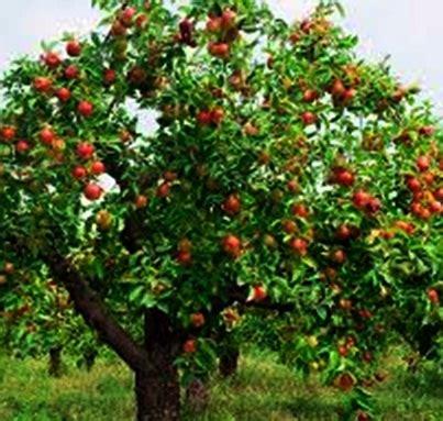 Tanaman Manggis Pohon Manggis 085894576246 musim durian dan manggis di lung eloratour