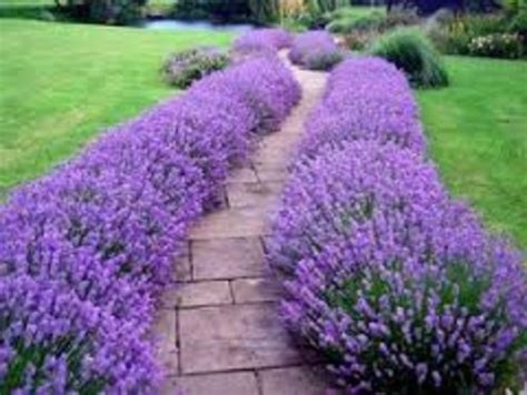 hardy lavender plants grow herbs and flowers in edging with perennials