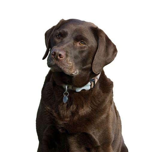 effects of chocolate on dogs free photo labrador chocolate brown free image on pixabay 220381