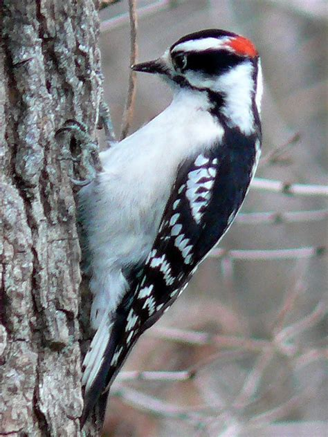 file downy woodpecker male jpg