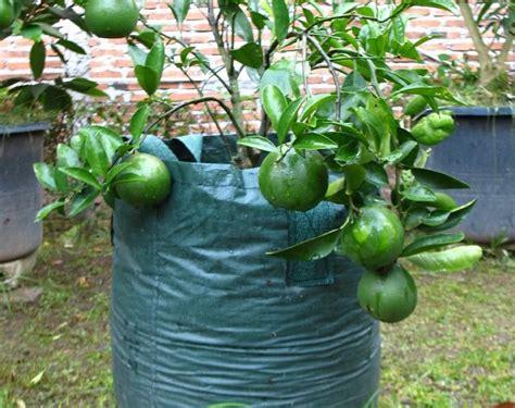 Jual Bibit Jeruk Nipis Sudah Berbuah peluang usaha budidaya jeruk nipis dalam pot dan analisa