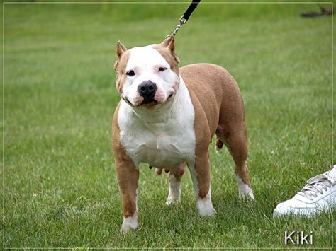pitbull dogs for sale blue pitbull dogs for sale