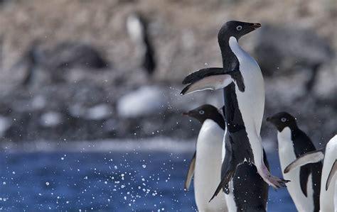 Adelie Penguin   Life of Sea
