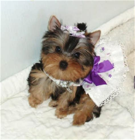 how to a yorkie to on pad natalie s yorkies yorkies for sale teacup parti yorkies
