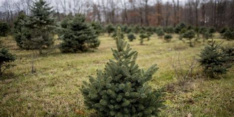 best christmas tree farms mn 12 best tree farms in usa for trees live enhanced