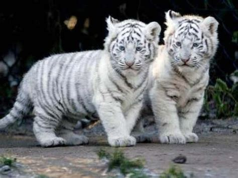 Baby White Tiger baby siberian tiger images www pixshark images