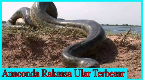 judul film ular anaconda 12 best anacondas images on pinterest anaconda giant