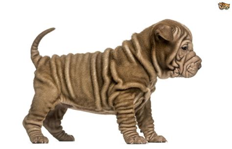 wrinkly puppies 8 adorable wrinkled breeds that will make you smile pets4homes