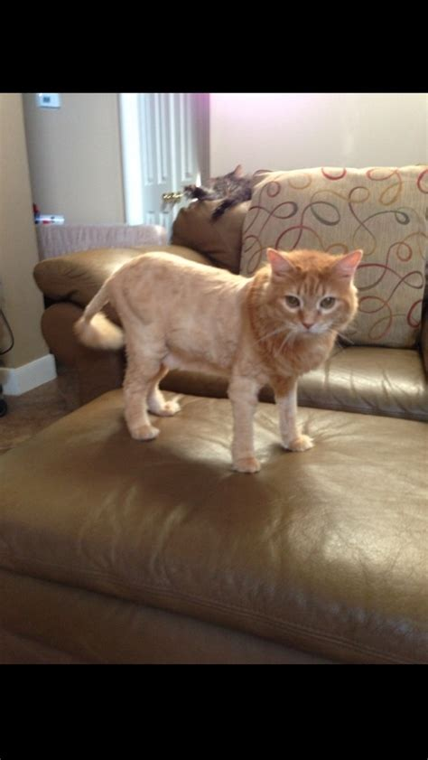 Shaved Cat Meme - i shaved my cat to look like a lion today not one regret