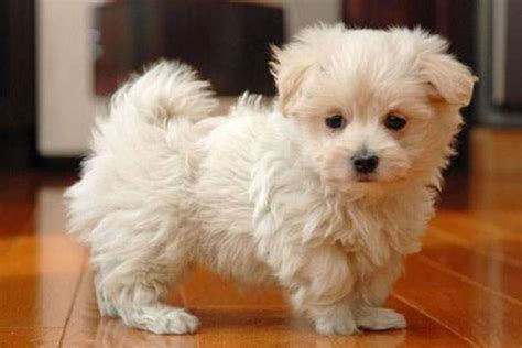 maltese puppies for sale near me pin by endar vitria on baby animals