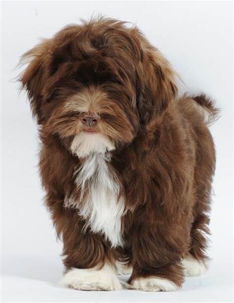 havanese house 17 best ideas about havanese puppies on puppies dogs and