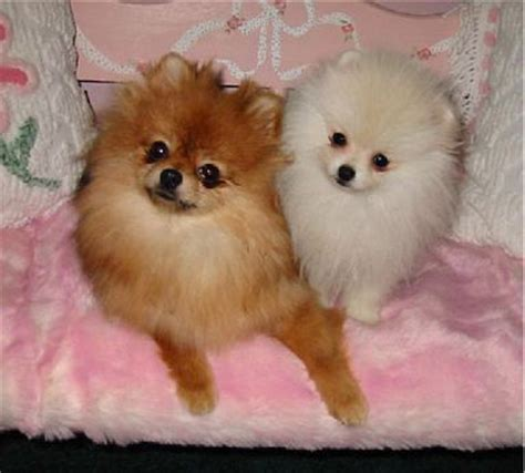 pomeranian rescue pomeranians on pomeranian dogs pomeranian puppy and white pomeranian