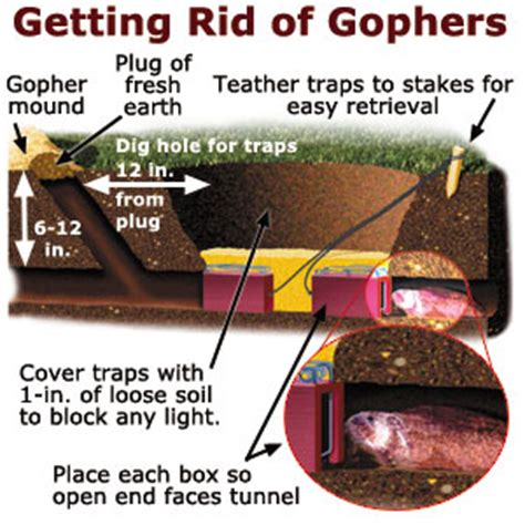 how to get rid of gophers in your backyard getting rid of gophers gardening yard garden this