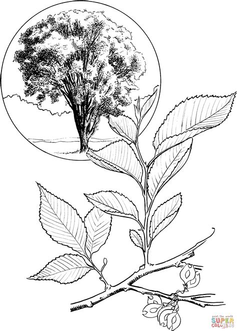 elm leaf coloring page american elm or white elm tree coloring page free