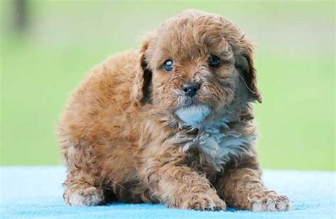 low allergy dogs non shedding low allergy small breed puppies breeds picture