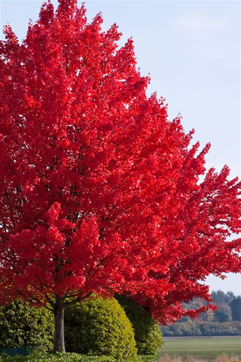 12 foot maple tree buy autumn blaze maple trees for sale from wilson bros gardens
