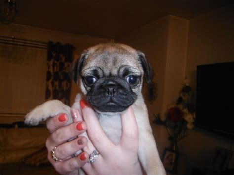 pedigree pugs for sale uk pedigree pugs for sale 1 left newport newport pets4homes