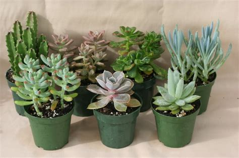 mini house plants the craze in growing succulents homegardeningph