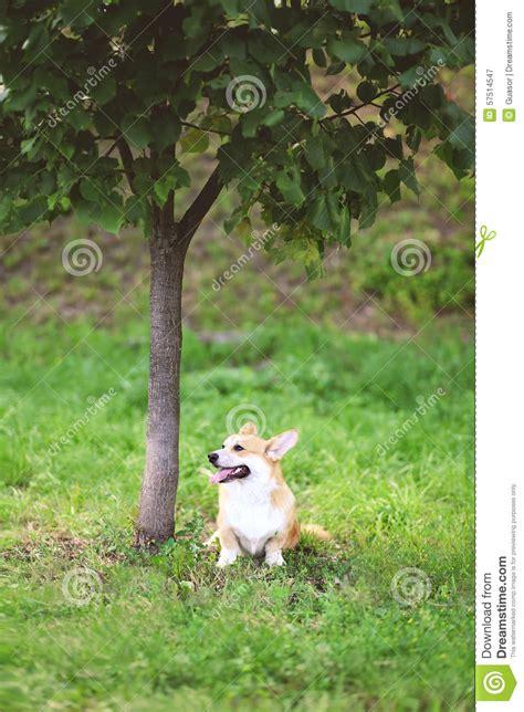 Doggie From Tree by Happy Corgi Pembroke Sitting On The Grass Near