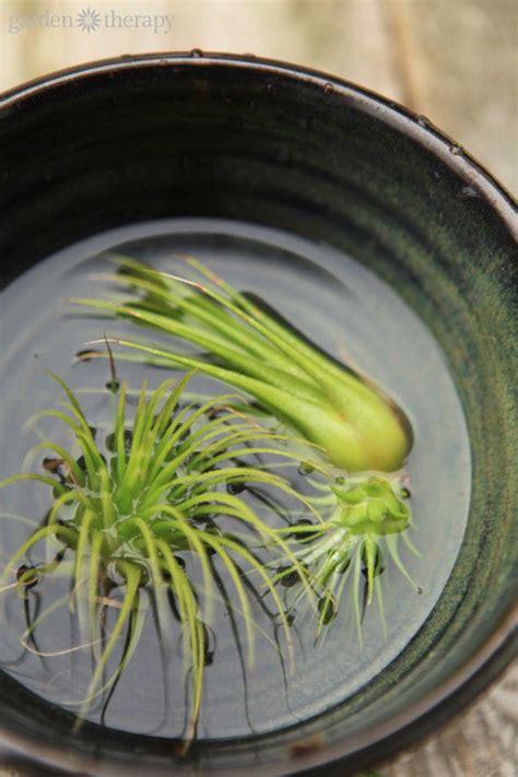 how to revive a plant how to revive a sick air plant air plants plants and water