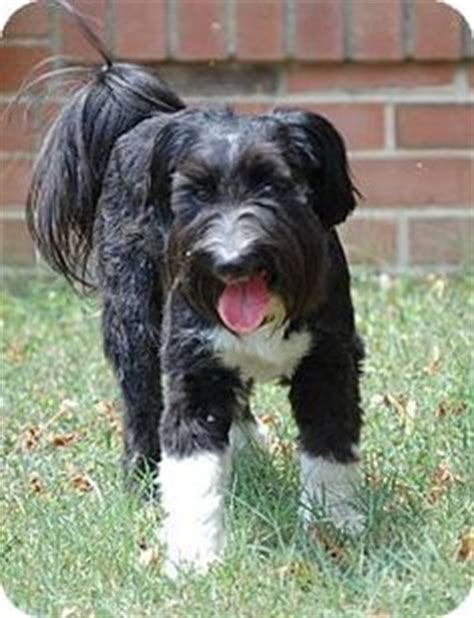 shih tzu standard type 1000 images about shelter dogs on carolina animal rescue and