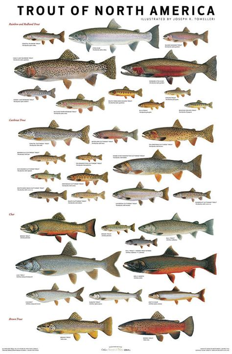 printable fish poster use these charts to confidently id trout salmon species