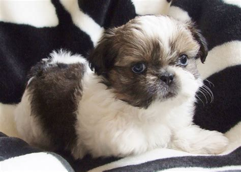 white imperial shih tzu imperial gold and white shih tzu boy puppy bournemouth dorset pets4homes