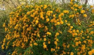 Yellow Flowering Shrubs Uk - some showy spring flowering shrubs silica lodge garden centre