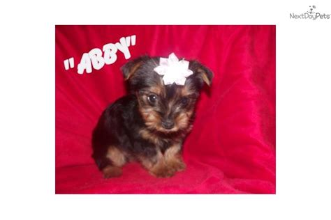 house a yorkie puppy teacup yorkie puppies available nowdog terrier yorkie puppy breeds picture