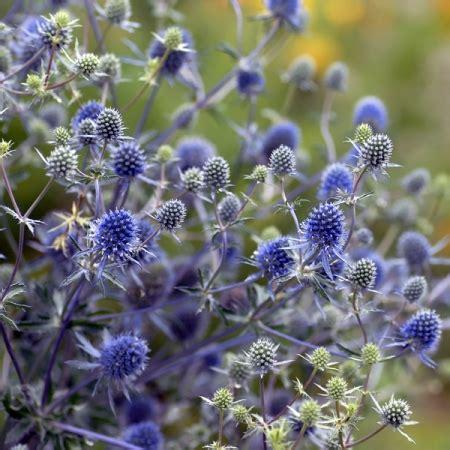 holly stars eryngium alpinum sea holly blue star seeds new
