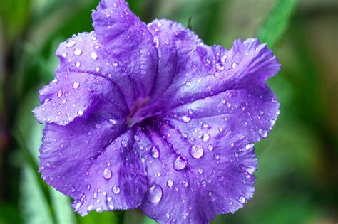 grow  care  mexican petunias purple showers