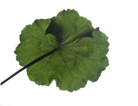 high resolution maple leaf deviantart leaves high resolution by ugurbektas on deviantart