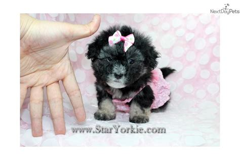 yorkie poo puppies for sale in los angeles ca yorkiepoo yorkie poo puppy for sale near los angeles california eac70d0b 6a91