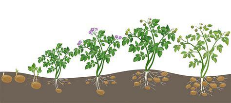 wachstum der kartoffel 5482 wachstum der kartoffel kartoffelnkonzept synvital