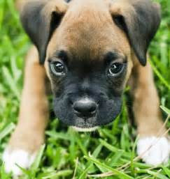 Duke the boxer puppies daily puppy