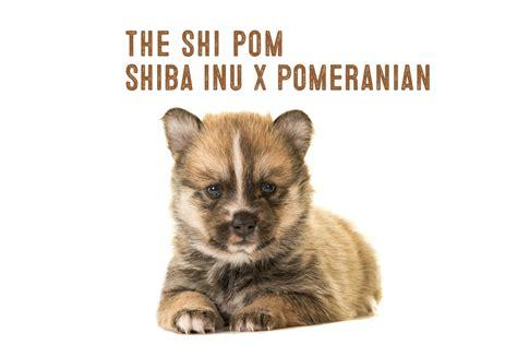 pomeranian shiba inu mix shiba inu pomeranian mix information my shiba inu