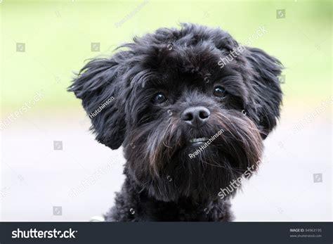 breeds shih tzu poodle mix shih tzu poodle mixed breed portrait stock photo 94963195