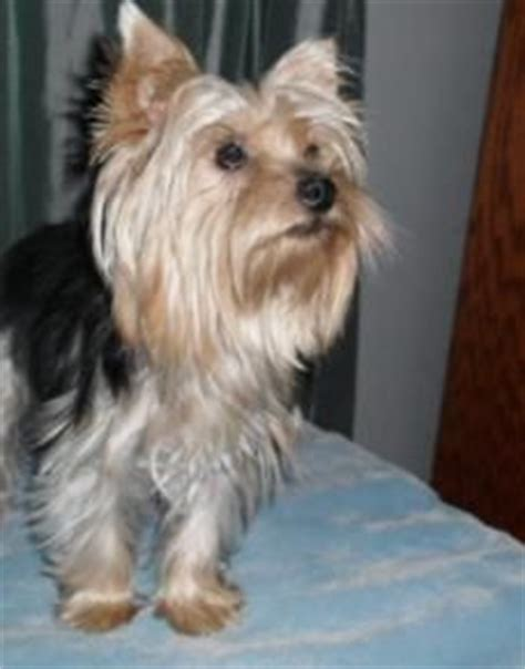 yorkie puppies for sale missouri yorkie puppies on yorkie teacups and puppies