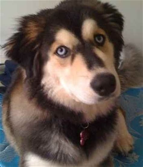 husky mix with golden retriever golden retriever husky mix pretty animals