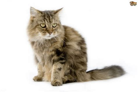cat and breed the top 8 largest domestic cat breeds pets4homes