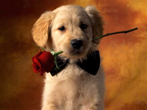 golden retriever puppy it s hd animals wallpapers golden retriever